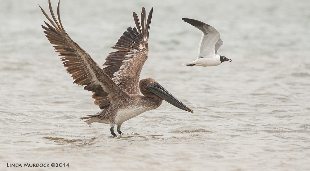 Young Brown Pelican and Laughing Gull Sony A700 with 70-400mm 1/3200 sec. f/6.3 ISO 1600