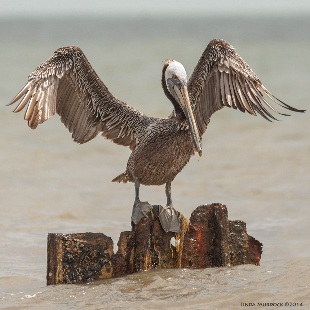 Brown Pelican settling on the breakers Sony A700 with 70-400mm 1/2000 sec. f/5.6 ISO 1000