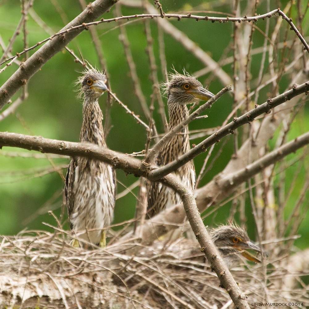A trio of Yellow-crowned Night Heron chicks Sony A700 with 70-400mm 1/500 sec. f/5.6 ISO 1600