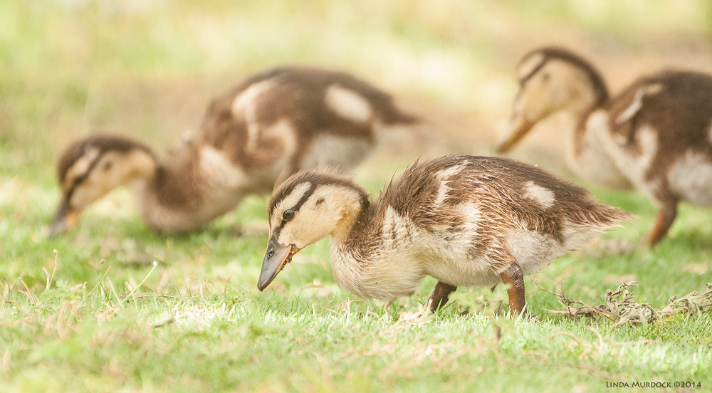 Baby ducks Sony A700 with 70-400mm 1/1000 sec. f/6.3 ISO 1600