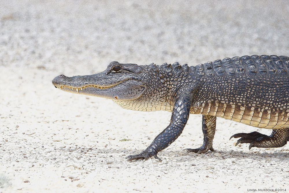 Really scary alligator crossing my path    Sony A77 II with 70-400mm G2  1/1250 sec. f/5.6 ISO 1000