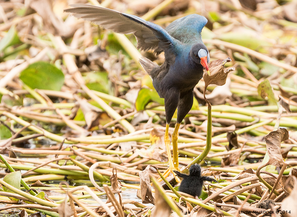 Adult Purple Gallinule almost stepping on tiny chick    Sony A77 II with 70-400mm G2 1/800 sec. f/5.6 ISO 800