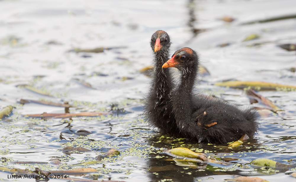Moorhen chicks    Sony A77 II with 70-400mm G2 1/1000 sec. f/5.6 ISO 500