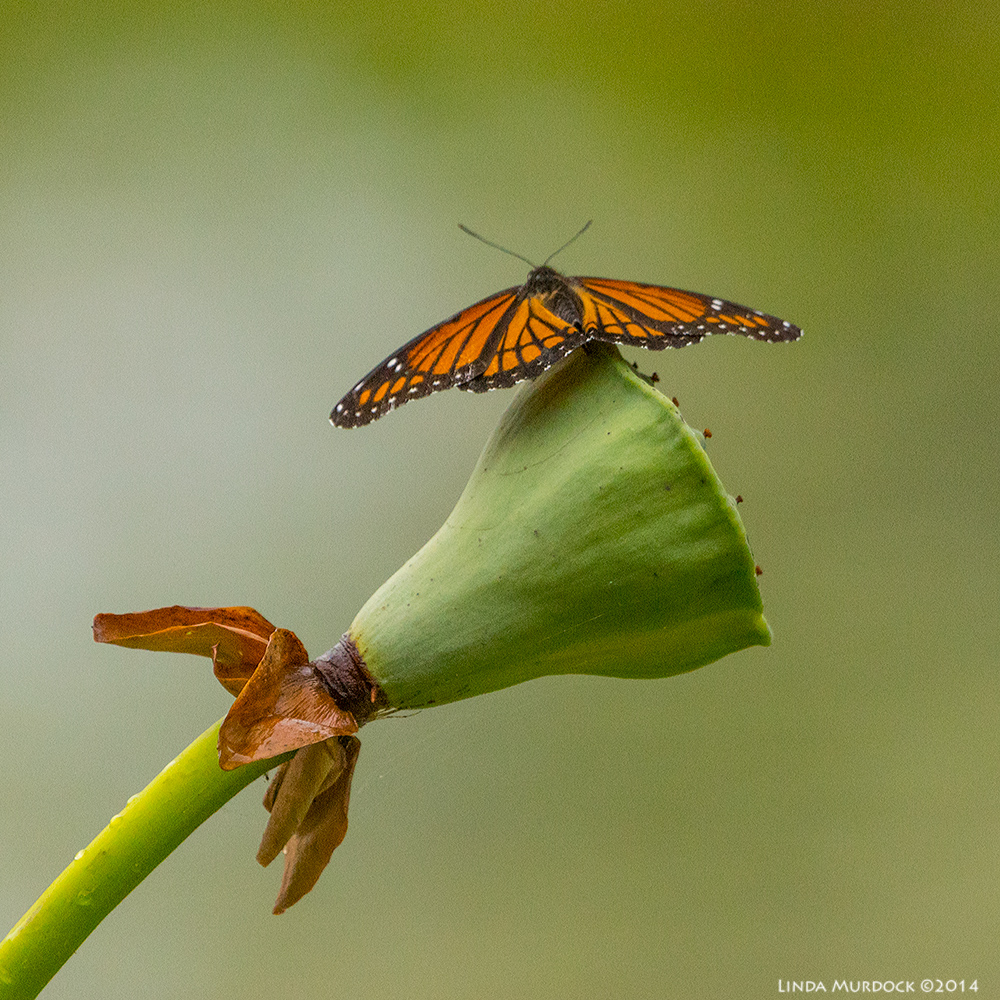 Probably a Gulf Fritillary on a Lotus Pod     Sony A77 II with 70-400mm G2 1/1000 sec. f/5.6 ISO 1600