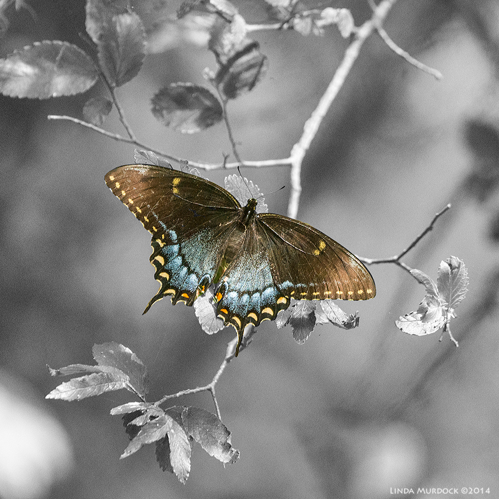 Spicebush Swallowtail - colorsplash technique shows off his colors    Sony A850 with 70-400mm G 1/400 sec. f/6.3 ISO 1600