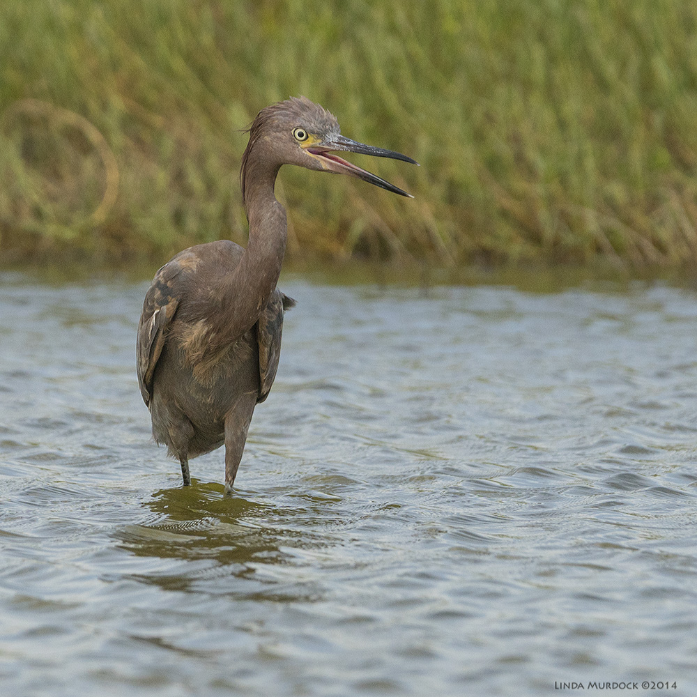 Young Reddish Egret, dark morph. Sony A77 II with 70-400mm G21/1600 sec. f/6.3 ISO 800
