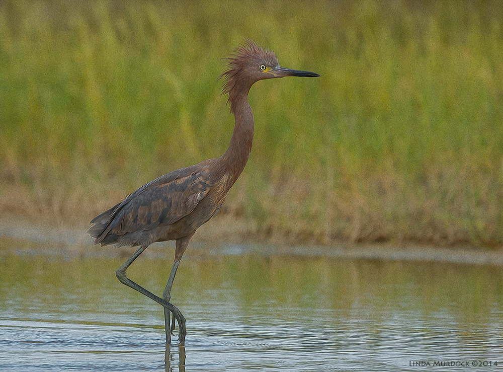 Young Reddish Egret a bit excited. Maybe they hallucinate like young kittehs?    Sony A77 II with 70-400mm G2 1/1600 sec. f/6.3 ISO 800