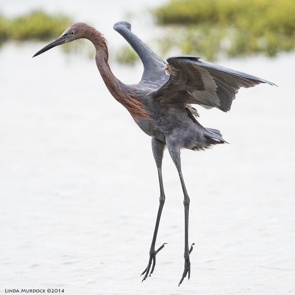 Reddish Egret airborne    Sony A77 II with 70-400mm G2 1/2000 sec. f/5.6 ISO 640