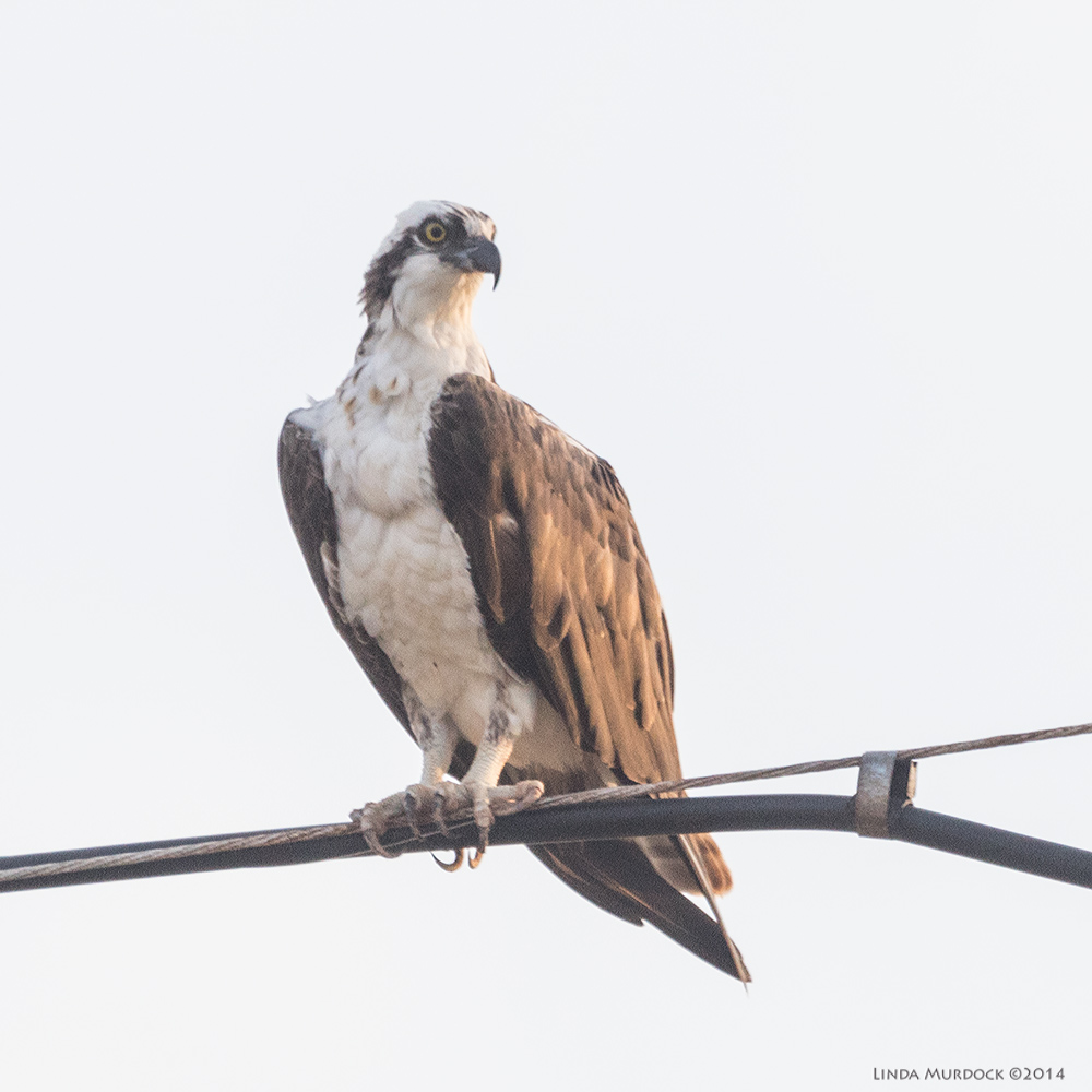 October #3 Osprey on the telephone line at Surfside Sony A77 II with 70-400mm G2 1/400 sec. f/6.3 ISO 1000