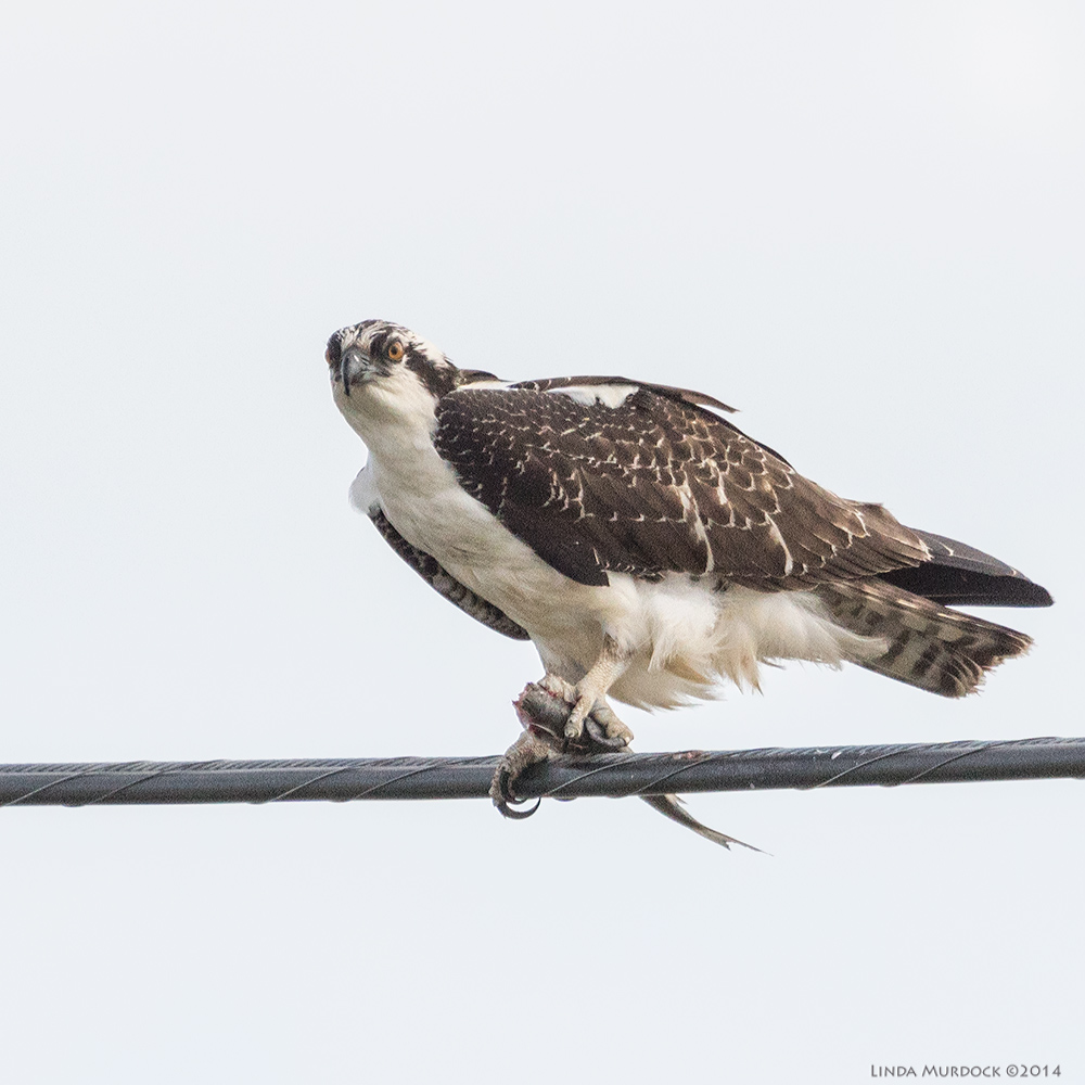 September Osprey on telephone cable with fish Sony A77 II with 70-400mm G2 1/2000 sec. f/7.1 ISO 500