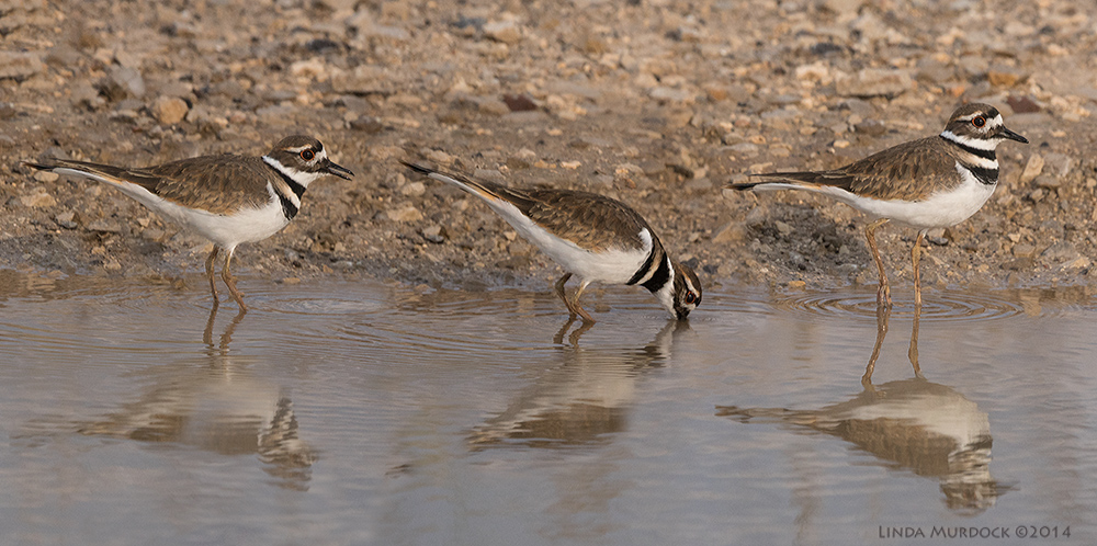 Killdeer takes a drink...