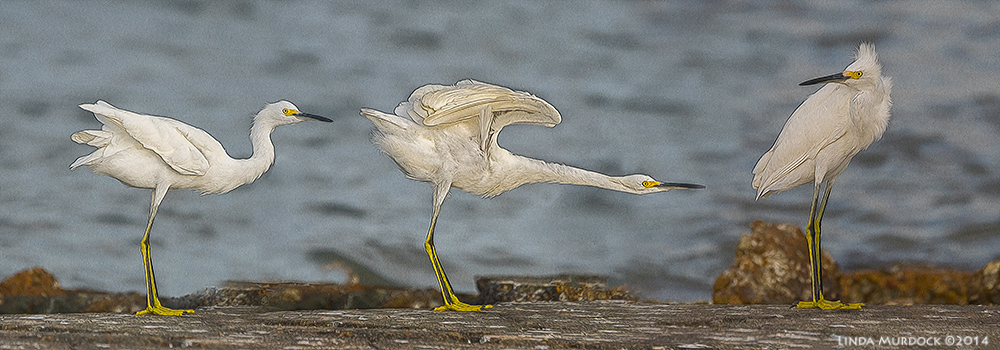 Young Snowy Egret doing his exercises