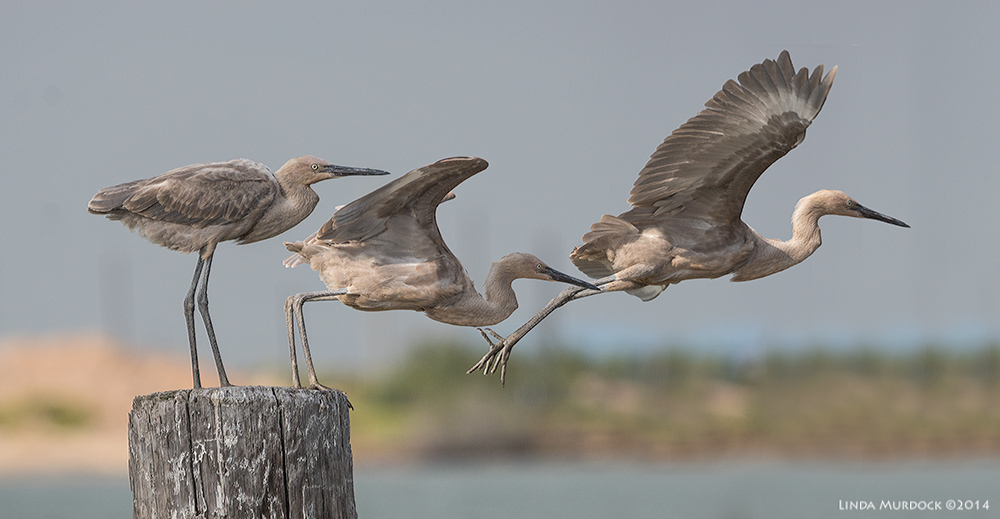 Young Reddish Egret gets airborne...3 photo composite