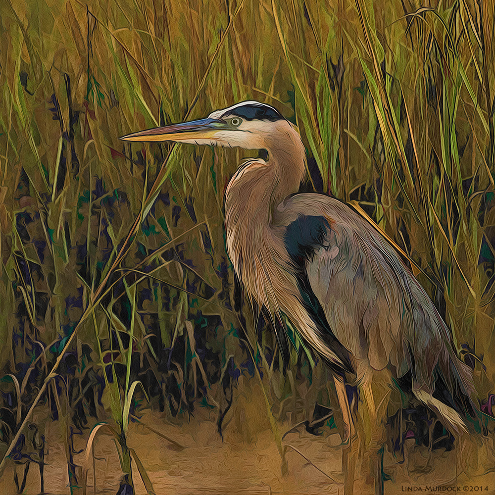 Great Blue Heron portrait    Post-processing with Fractalius, Topaz Simplify and Photoshop Oil Paint