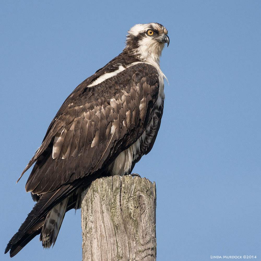 Blase Osprey  Sony A77 II with 70-400mm G2 1/1600 sec. f/5.6 ISO 320