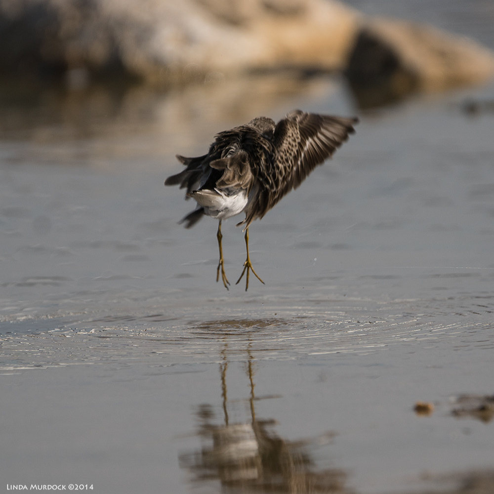 Least Sandpiper levitating Sony A77 II with 70-400mm G2 1/2000 sec. f/5.6 ISO 200
