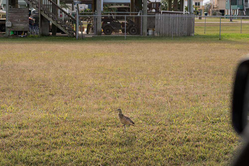 Long-billed curlew right there in the vacant lot!    Photo for documentary purposes only