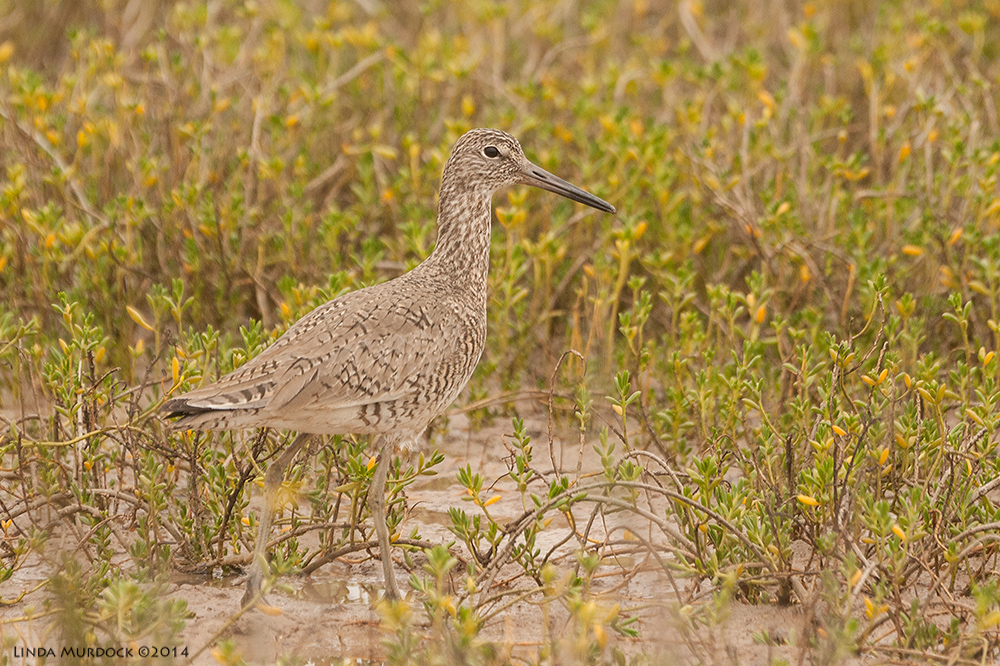Willet in breeding plumage (probably an Eastern)    Sony 700with 70-400mm 1/1250 sec. f/6.3 ISO 800