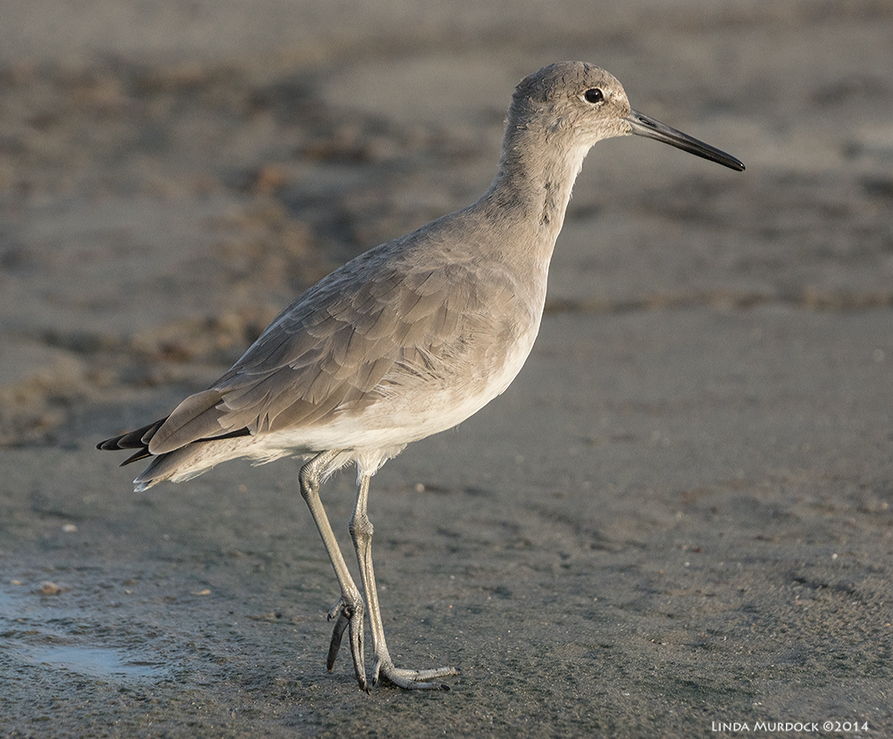 Willet in all his glory Sony A77 II with 70-400mm G2 1/2000 sec. f/5.6 ISO 1000