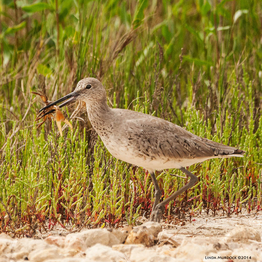 Willet with fiddler crab at Anahuac last Spring Sony 700 with 70-400mm 1/2000 sec. f/6.3 ISO 1000