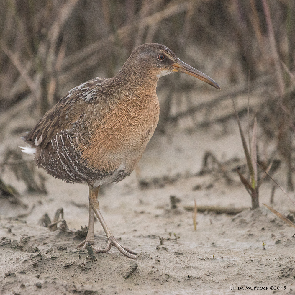 Clapper Rail mom-to-be (note the mud on her back from the encounter) Sony A77 II with 70-400mm G2 1/1000 sec. f/5.6 ISO 1600