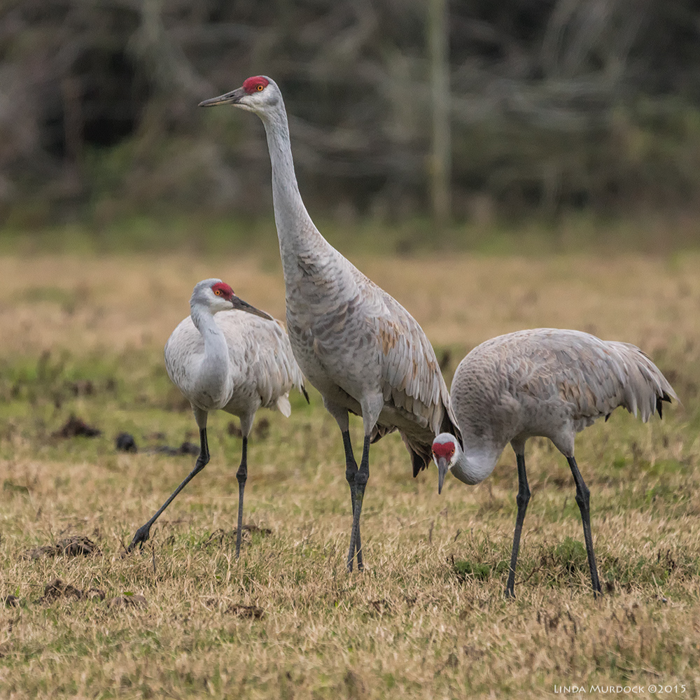 Sandhill cranes foraging closer than expected... Sony A77 II with 70-400mm G2 1/400 sec. f/5.6 ISO 1000