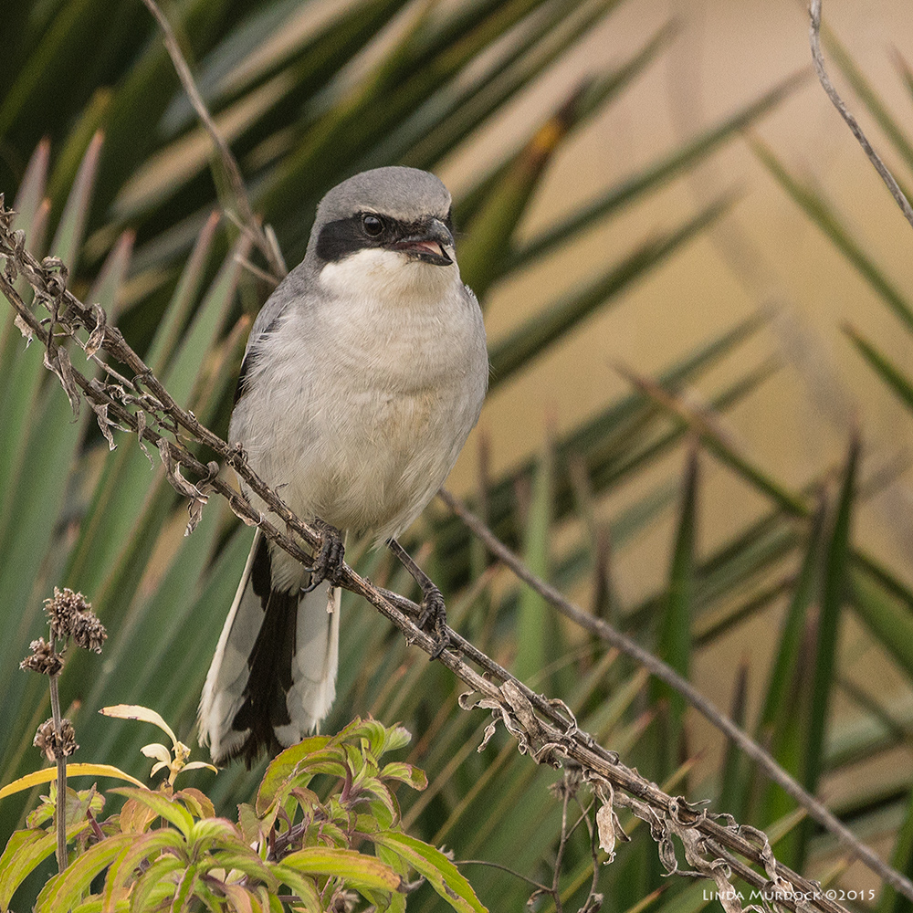 Loggerhead Shrike Sony A77 II with 70-400mm G2 1/640 sec. f/6.3 ISO 400
