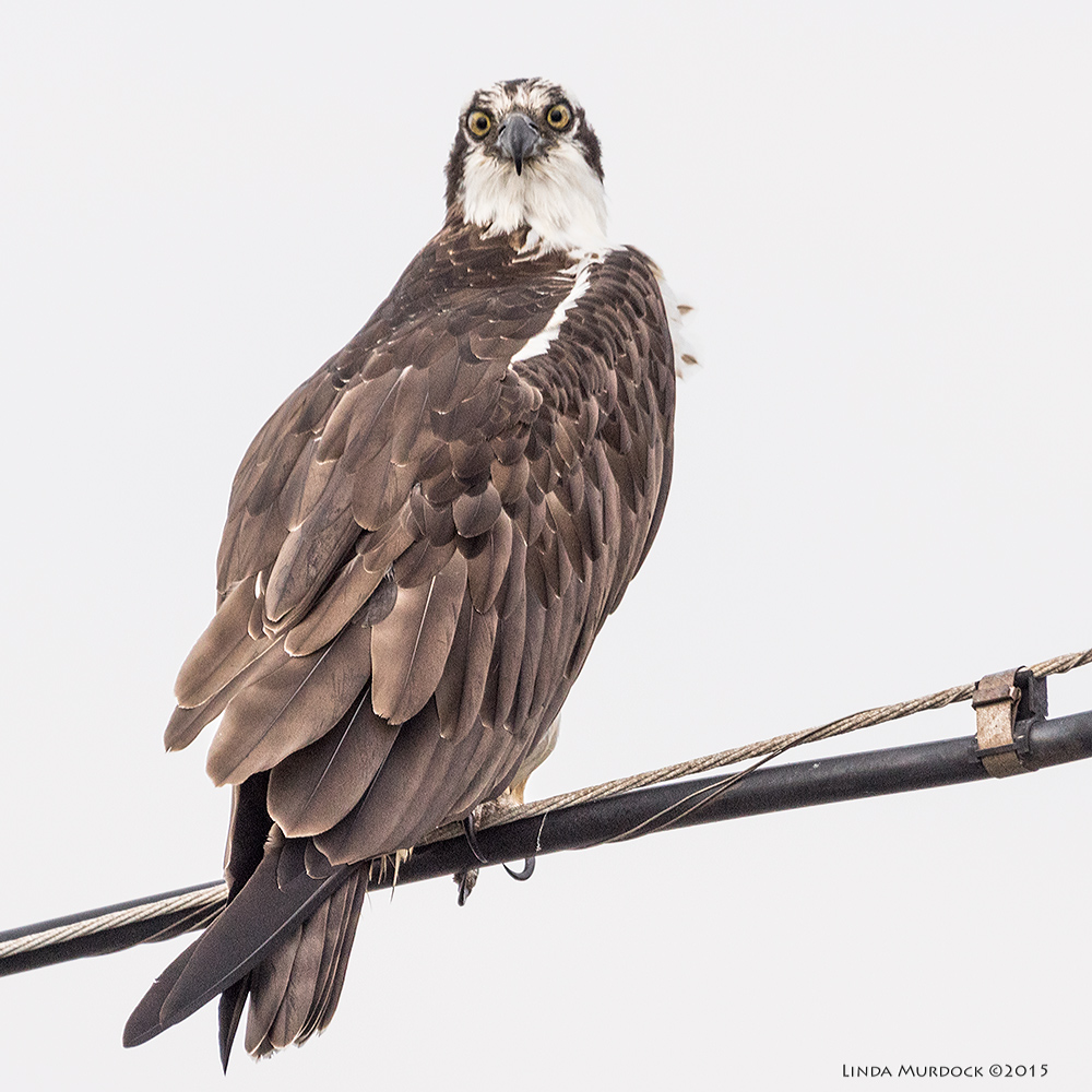 Osprey stare-down    Sony A77 II with 70-400mm G2 1/1600 sec. f/6.3 ISO 1000