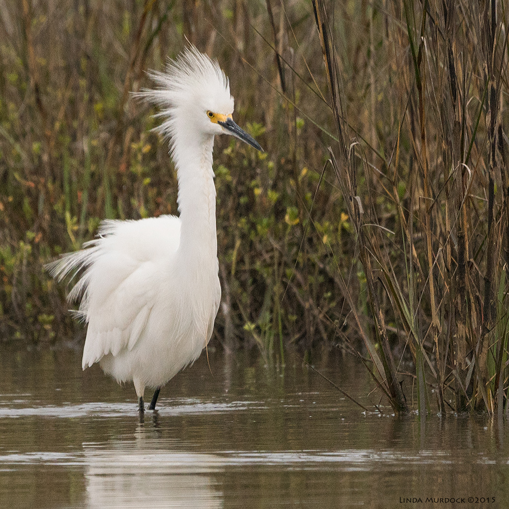 Snowy Egret in full intimidation mode    Sony A77 II with 70-400mm G2 1/2000 sec. f/6.3 ISO 1000