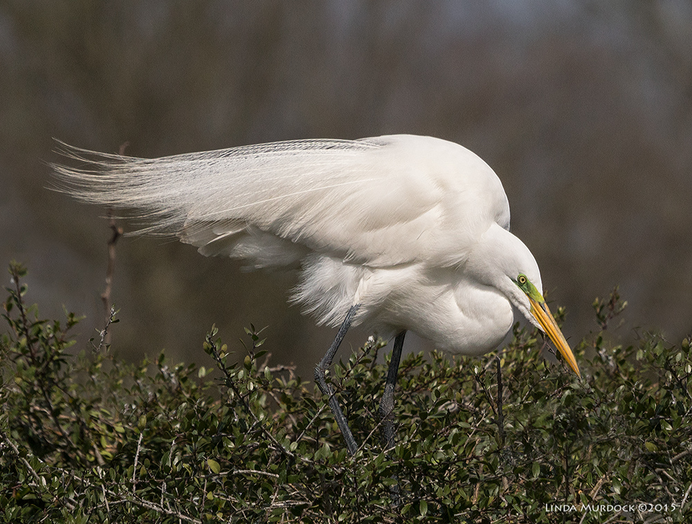 Great Egrets are getting their green lores...    Sony A77 II with 70-400mm G2 1/2500 sec. f/8.0 ISO 400