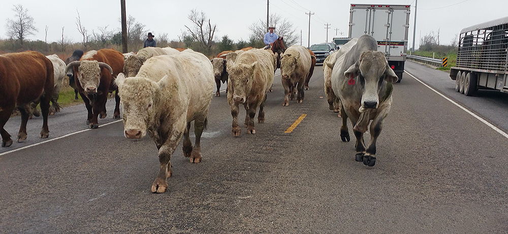 Cattle on Hwy 124. Yep, those are real Texas cowboys moving the cows down the highway.    Photo by William Maroldo with Galaxy Note 4