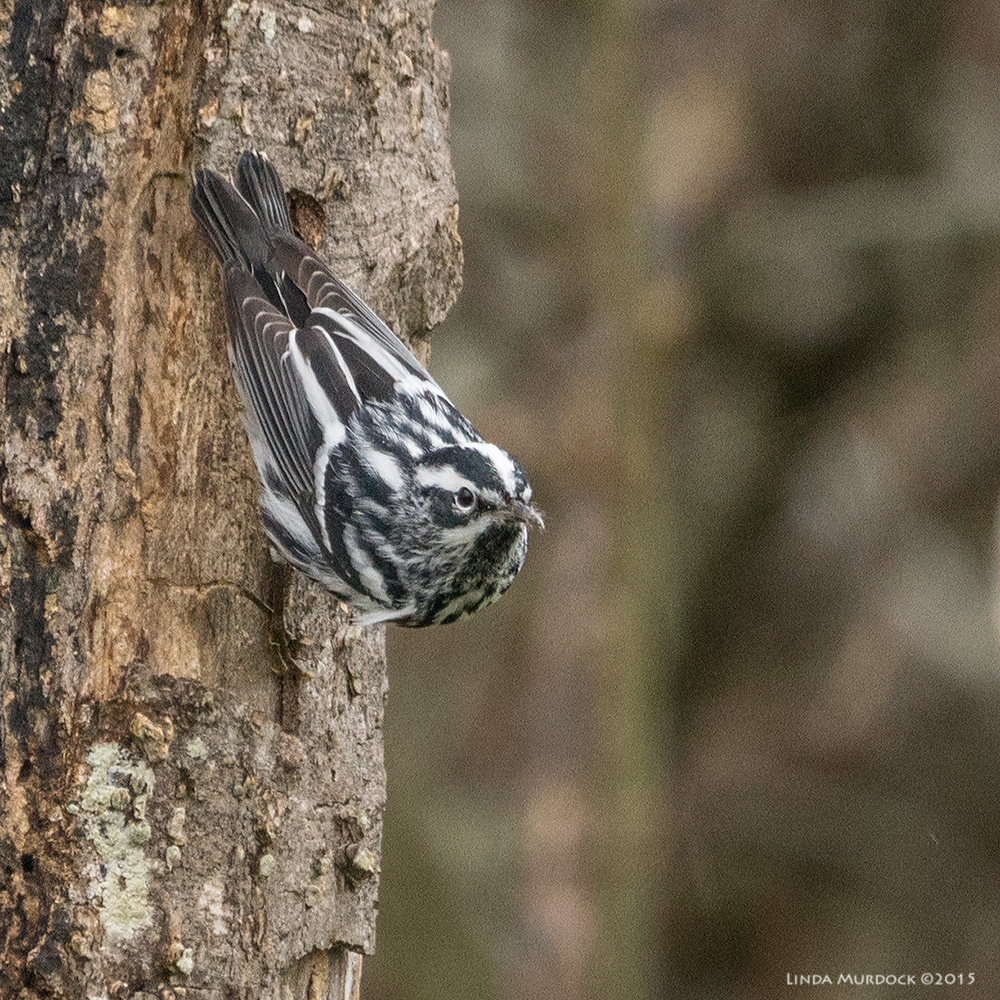 One of the first Spring migrants - Black-and-White Warbler    Sony A77 II with 70-400mm G2 1/320 sec. f/6.3 ISO 1000; tripod