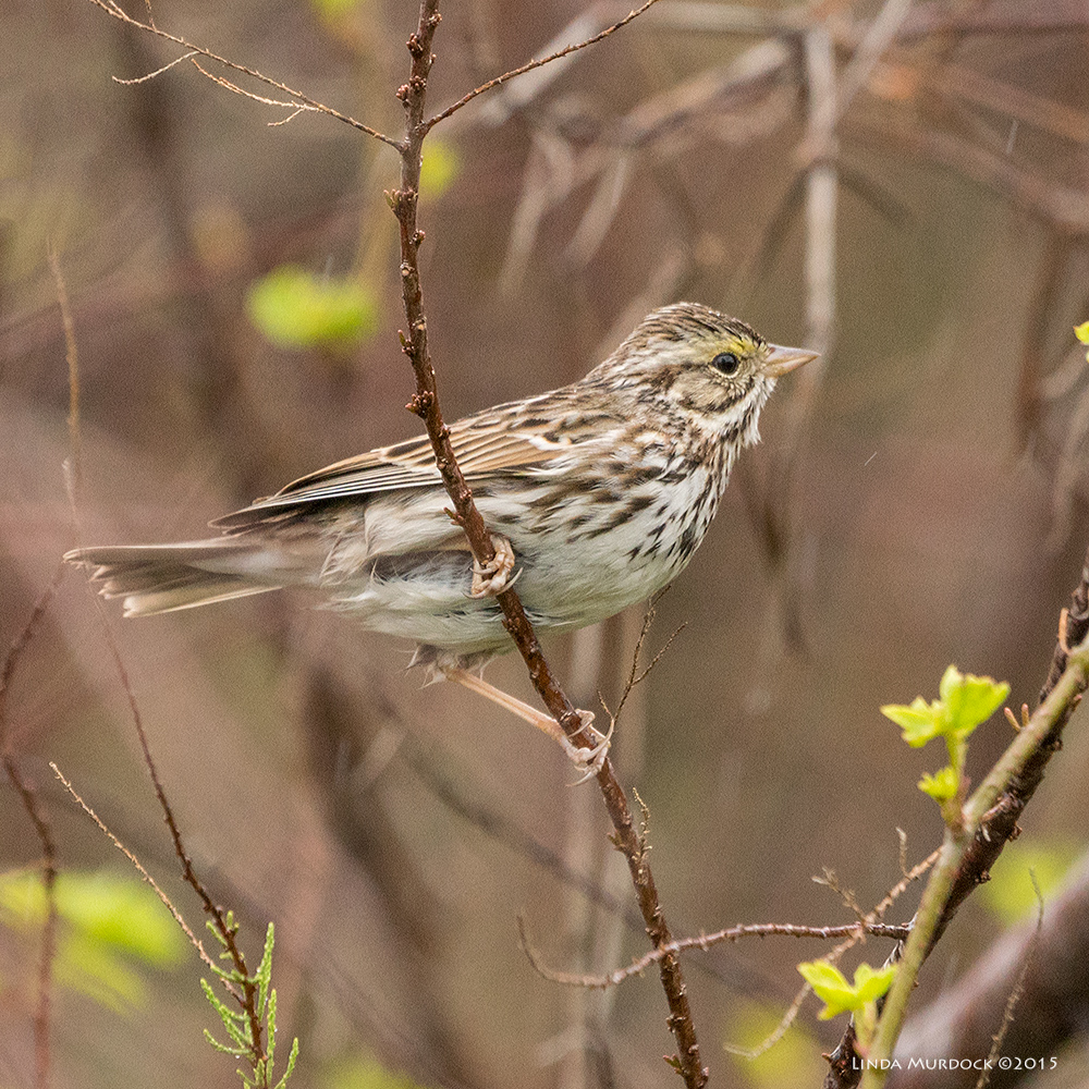 Savannah Sparrow in the rain    Sony A77 II with 70-400mm G2 1/320 sec. f/6.3 ISO 1250; tripod