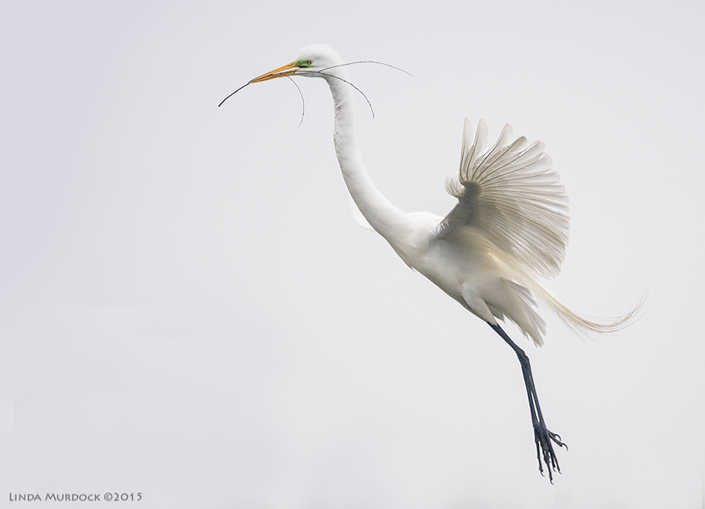 Great Egret with small stick at High Island Rookery   Sony A77II with Sony 70-400 G2 f/5.6 1/1600 sec ISO 1000
