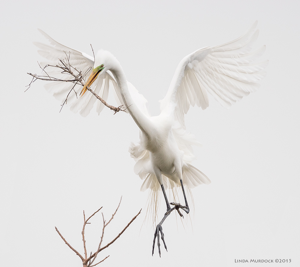 Great Egret coming in for a landing   Sony A77II with Sony 70-400 G2 f/5.6 1/2500 sec ISO 800