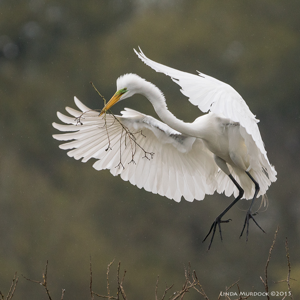 Great Egret with offering Sony A77II with Sony 70-400 G2 f/5.6 1/2000 sec ISO 1000