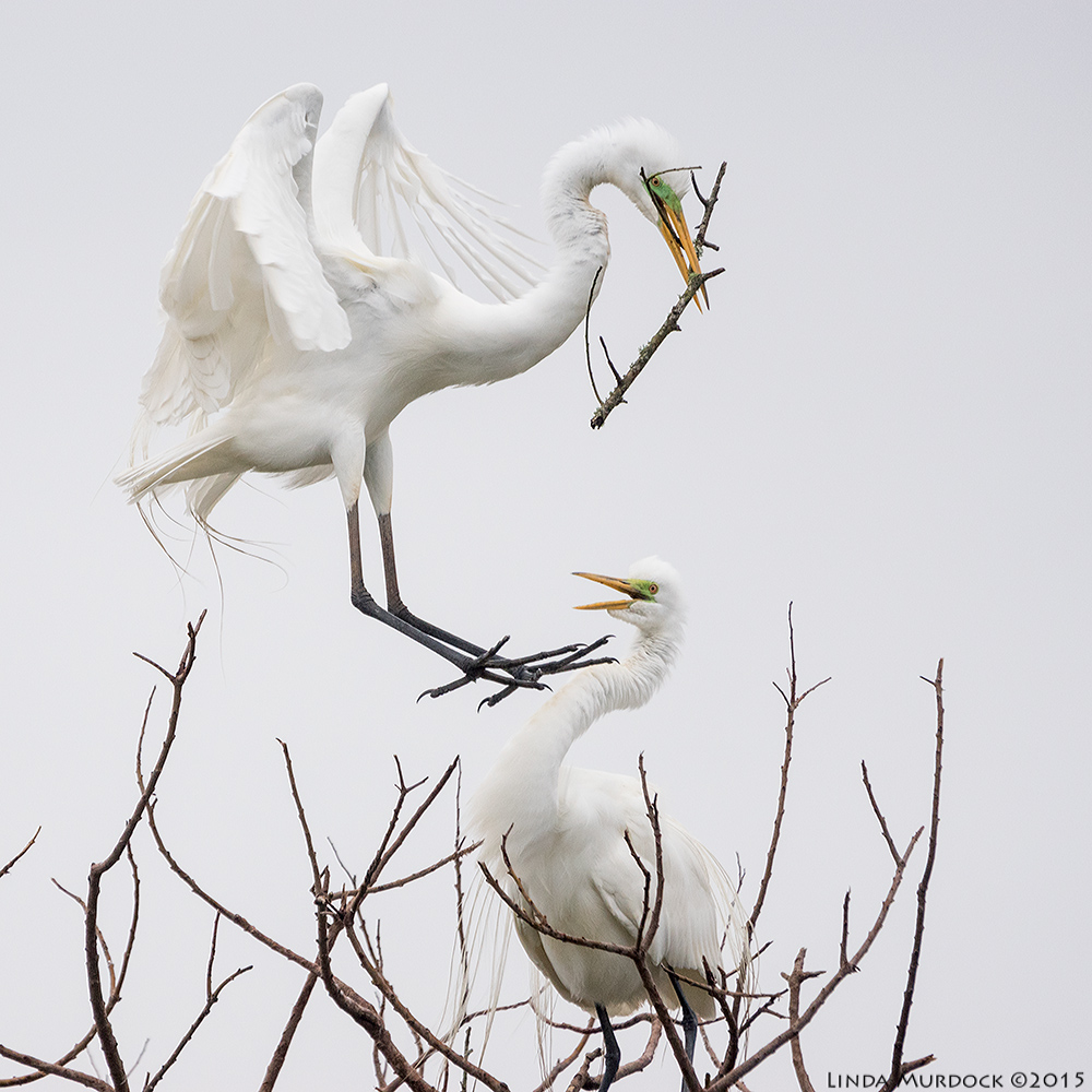 Great Egret offers stick to mate   Sony A77II with Sony 70-400 G2 f/5.6 1/1600 sec ISO 800