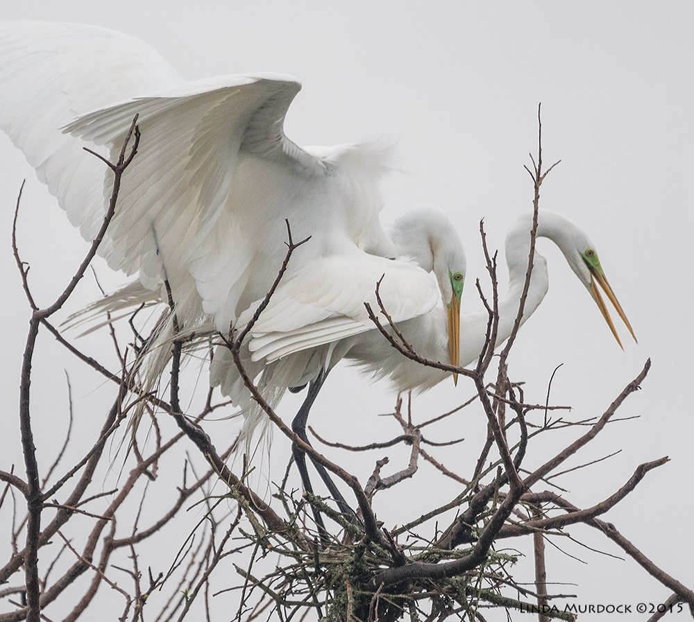 Everyone is doing it... Great Egrets at High Island, Texas   Sony A77II with Sony 70-400 G2 f/5.6 1/2000 sec ISO 1000