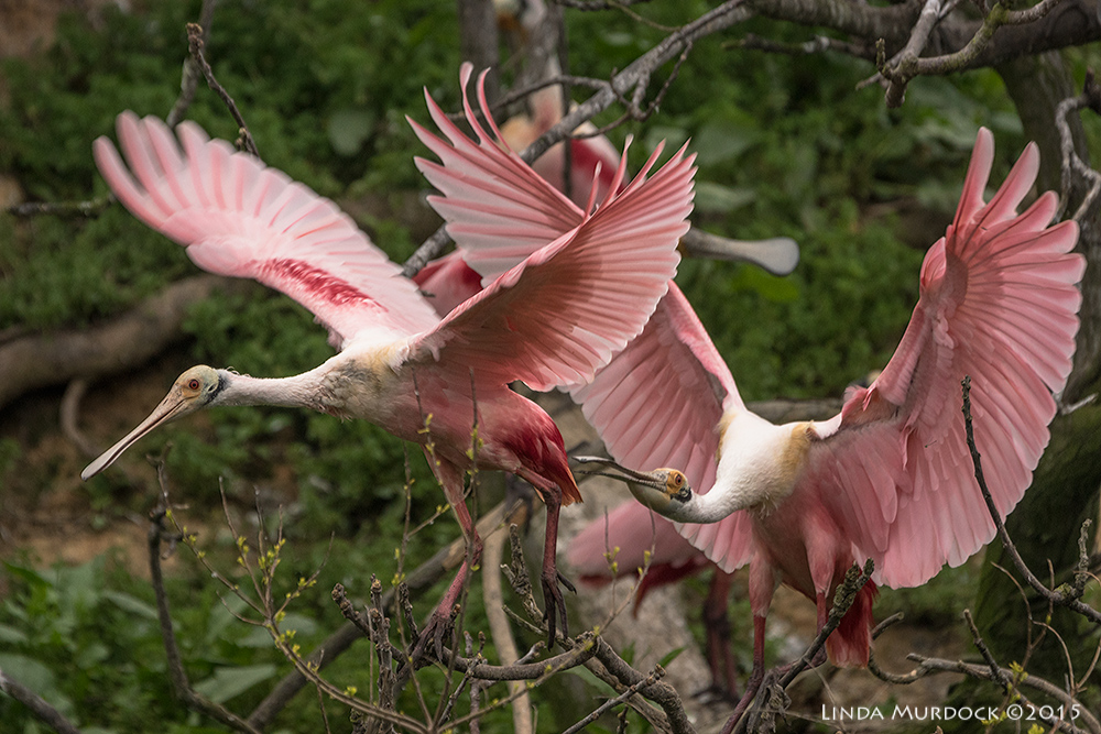 Roseate Spoonbills chase  Sony A77II with Sony 70-400 G2 f/5.6 1/1000 sec ISO 1000