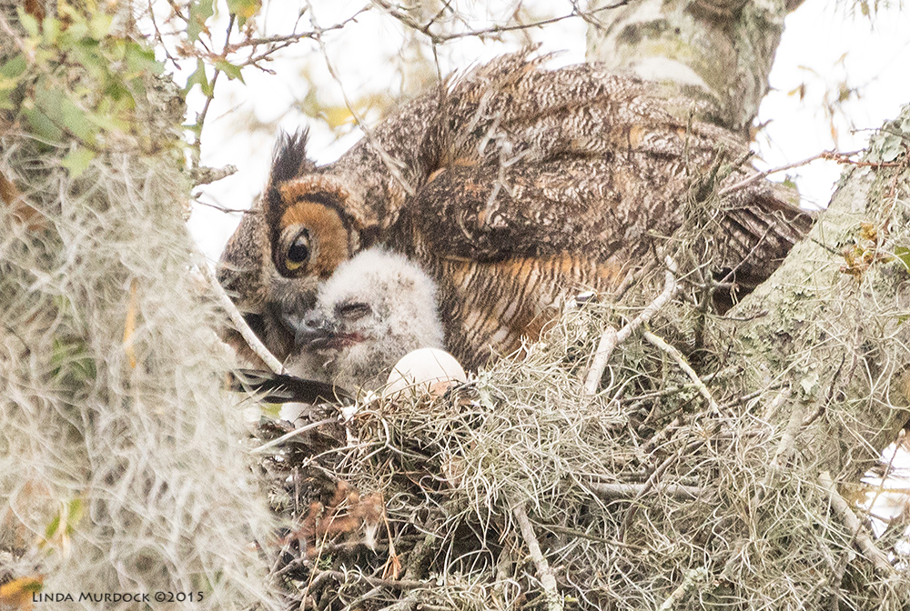 Female Great Horned Owl with chick  Sony A77II with Sony 70-400 G2 f/5.6 1/400 sec ISO 1600; tripod