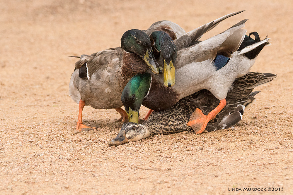 Female Mallard Duck and her suitors    Sony A77II with Sony 70-400 G2 f/6.3 1/640 sec ISO 1600