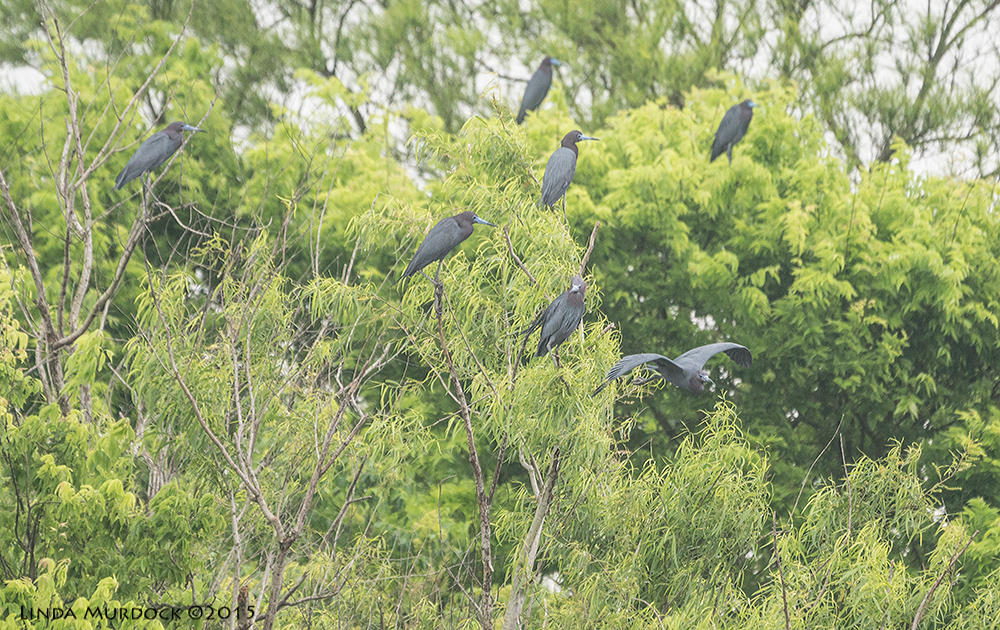 Trees full of Little Blue Herons    Sony A77II with Sony 70-400 G2 f/5.6 1/1000 sec ISO 1000