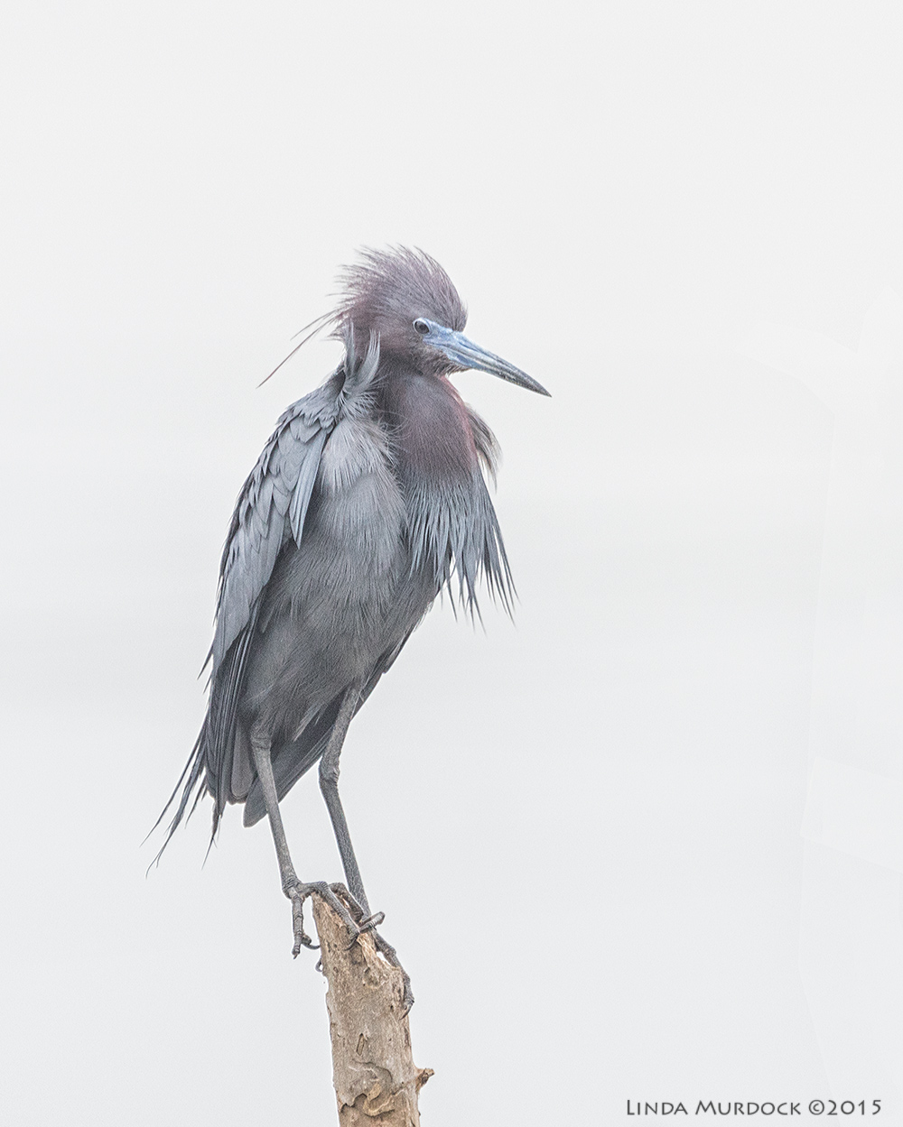 Little Blue Heron in the rain and breeze    Sony A77II with Sony 70-400 G2 f/5.6 1/1000 sec ISO 1000