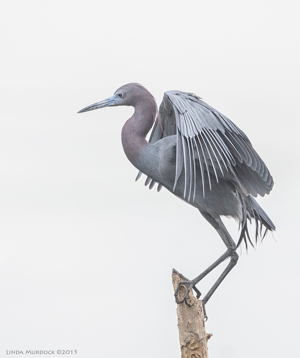 Little Blue Heron just before take off    Sony A77II with Sony 70-400 G2 f/5.6 1/1000 sec ISO 1000