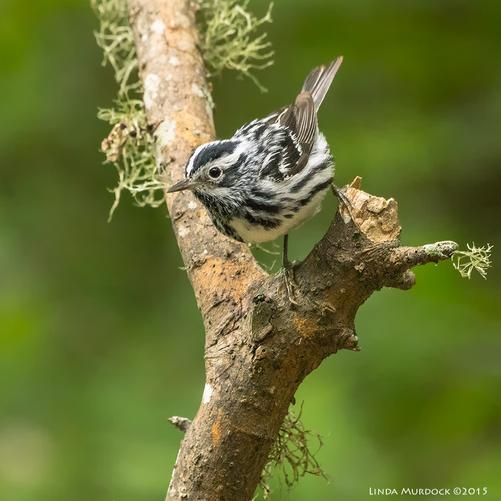 Male Black-and-white warbler Sony A77II with Sony 70-400 G2 f/5.6 1/160 sec ISO 3200