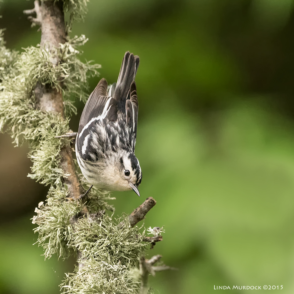 Female Black-and-white warbler    Sony A77II with Sony 70-400 G2 f/5.6 1/200 sec ISO 3200