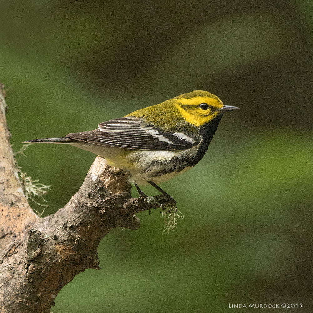 Black-throated Green Warbler    Sony A77II with Sony 70-400 G2 f/5.6 1/250 sec ISO 1000