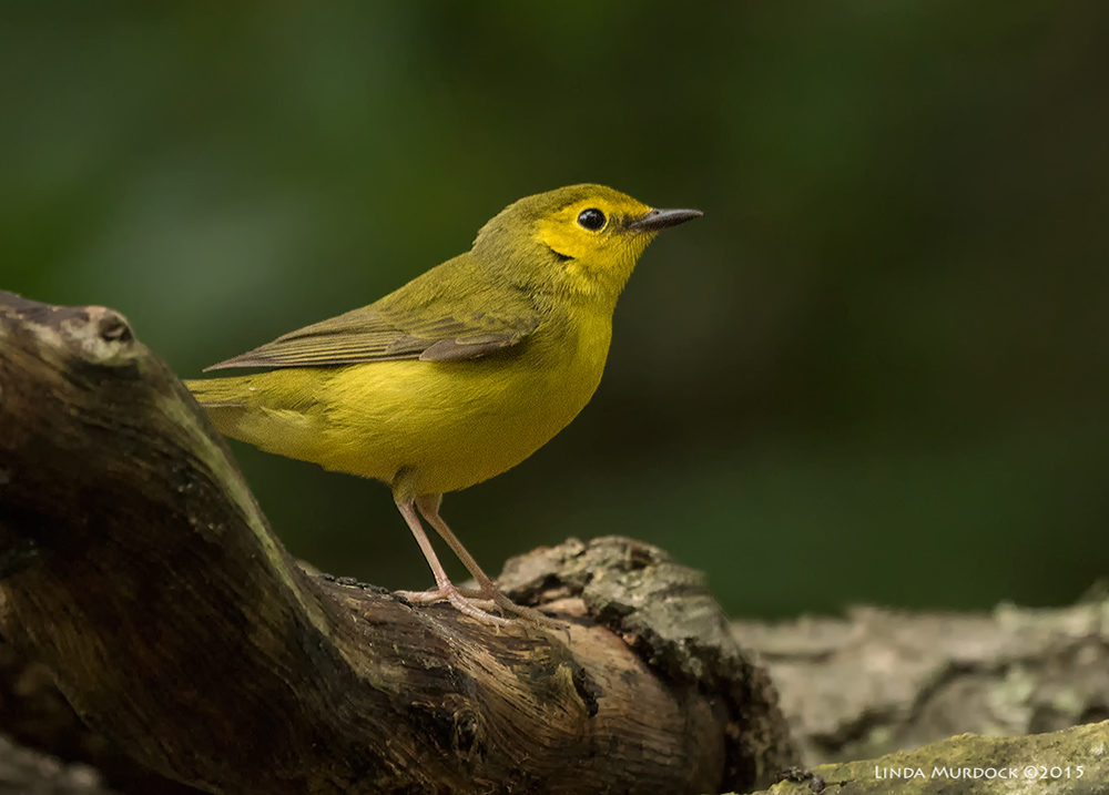 Female Hooded Warbler Sony A77II with Sony 70-400 G2 f/5.6 1/160 sec ISO 1600