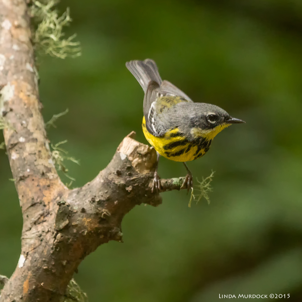 Male Magnolia Warbler Sony A77 II with 70-400 G2 1/250 sec. f/5.6 ISO 1600