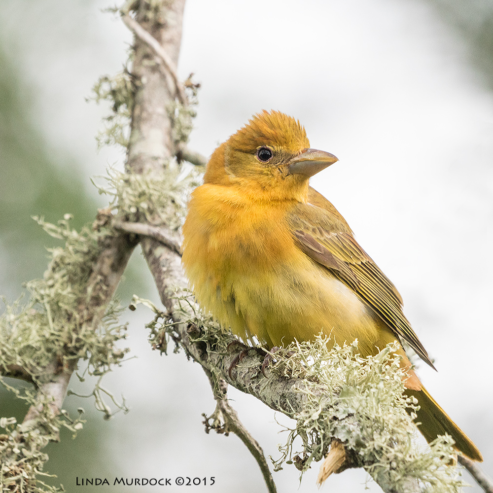 Adult female Summer Tanager Sony A77II with Sony 70-400 G2 f/8.0 1/640 sec ISO 1250